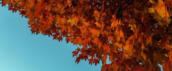 orange-leaves-in-bright-blue-sky